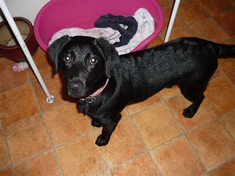 small lab small black labrador bournemouth dorset pets4homes