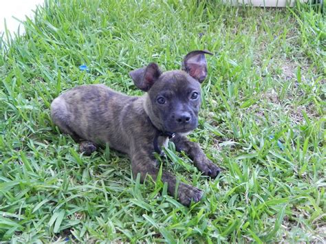 boston terrier chihuahua mix puppies for sale brindle mastiff pitbull mix puppies