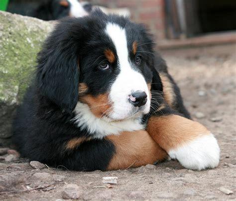 berner puppy gratis foto puppy berner sennen hond berner gratis afbeelding op pixabay 1284673