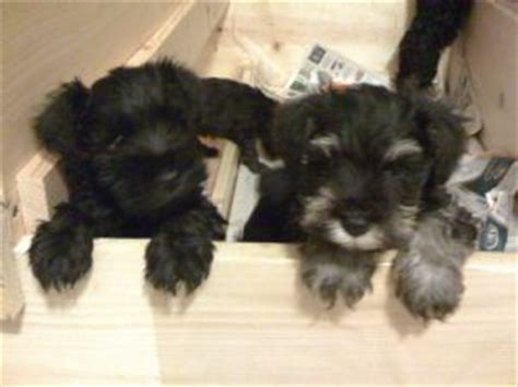 pug puppies for sale in syracuse ny miniature schnauzer puppies in new york