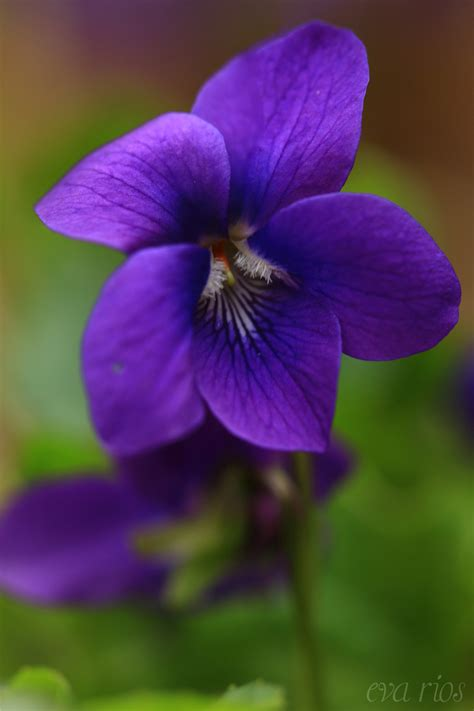 Flowers Violet violets by rios ortega flowers and gardens