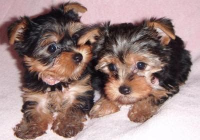 teacup yorkie rescue nc adorable teacup yorkie puppies for free adoption
