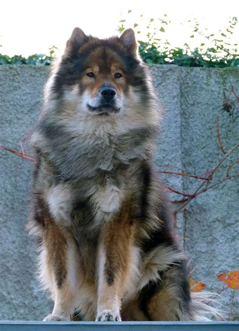 eurasier puppies 17 best ideas about eurasier on puppies big dogs and baby dogs