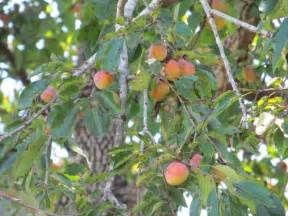 Native american persimmon tree just fruits and exotics