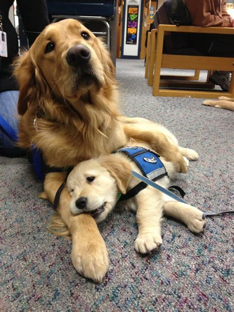comfortable dog 21 puppies get a taste of service dog training mnn