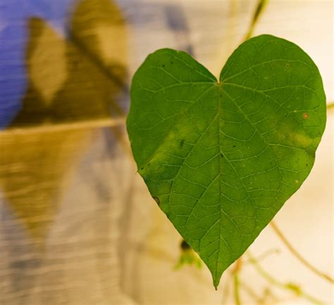 heart shaped leaves a gallery on flickr