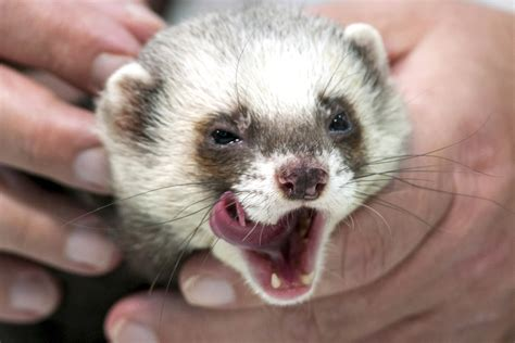 inside the sport of putting vicious ferrets in your pants