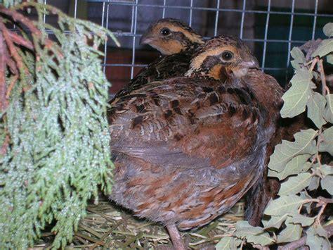 Backyard Chickens Quail How To Raise Bobwhite Quail Backyard Chickens Community
