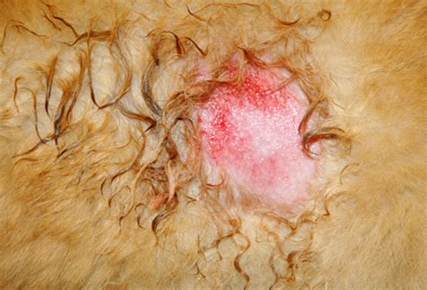 skin conditions in dogs veterinary biology and animal science