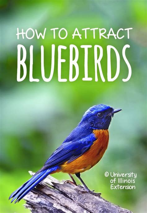 how to attract bluebirds garden yard bird gardening