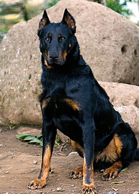 beauceron puppies 122 best images about beauceron on animals and 1 month olds