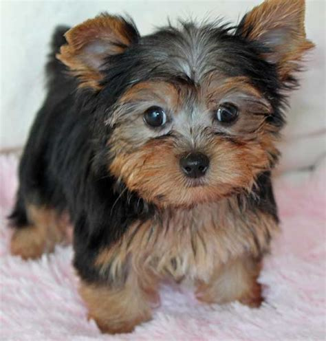 teacup yorkie florida yorkie terrier puppy for sale in boca raton south florida