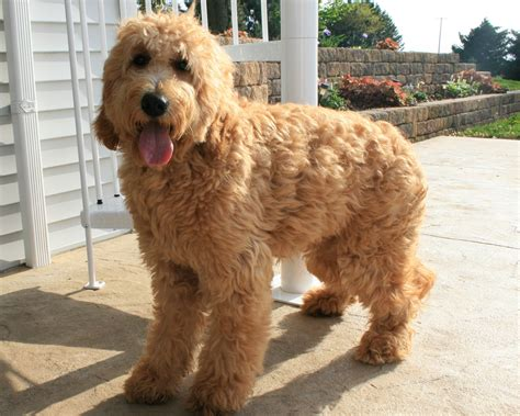 mini goldendoodles size mini goldendoodle size related keywords suggestions