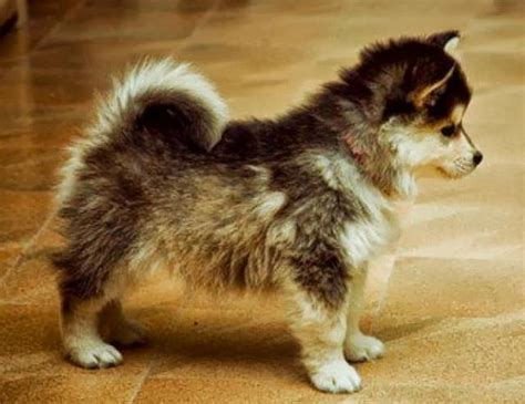 husky pomeranians so you think you d like a pomsky 16
