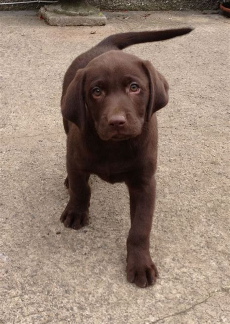 brown lab puppies for sale kc chocolate labrador puppies for sale swansea swansea pets4homes