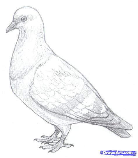 doodle how to make pigeon draw pigeons step by step drawing sheets added by