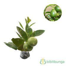 Tanaman Jeruk Sunkist 60cm tanaman jeruk santang bibitbunga