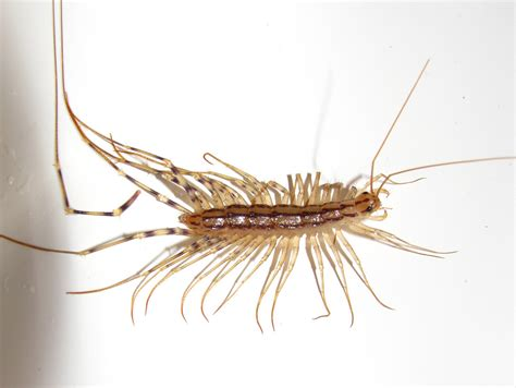 Centipede Infestations In The Attic Attic Guys Tiny Centipede In House