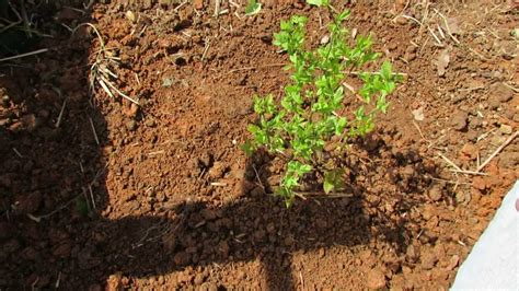 The Basics to Planting Blueberries: Acidify the Soil with