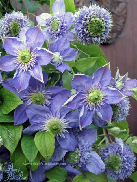 images  clematis hybrid vanso blue light
