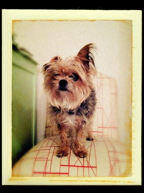 Do Yorkie Chihuahua Mix Shed by 93 Best Images About Tamika And Other Adorable Chorkies