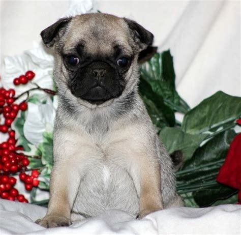 pug fox terrier mix pug fox terrier pug mixed breeds pug terriers and foxes