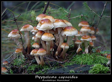 Wie Pflanze Ich 4365 by Graubl 228 Ttriger Schwefelkopf Foto Bild Pflanzen Pilze