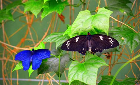 Kupu Hitam 25 gambar kupu kupu wallpaper kupu kupu cantik terindah