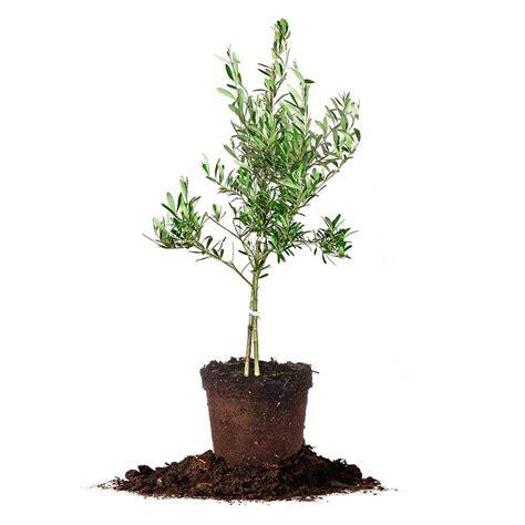 olive tree arbequina olive tree live plant size 2 3 ft ebay