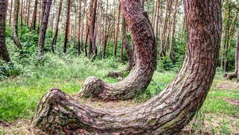 crooked forest poland crooked forest in western poland mysterious facts