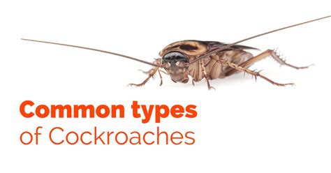 Help My Apartment Has Cockroaches Common Types Of Cockroaches Pest Survival Guide