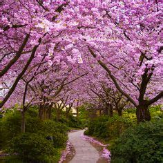 5 cherry tree walk 125 best cherry blossom trees in images on flowering trees beautiful places