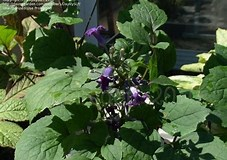 Image result for Clematis China Purple. Size: 227 x 160. Source: davesgarden.com