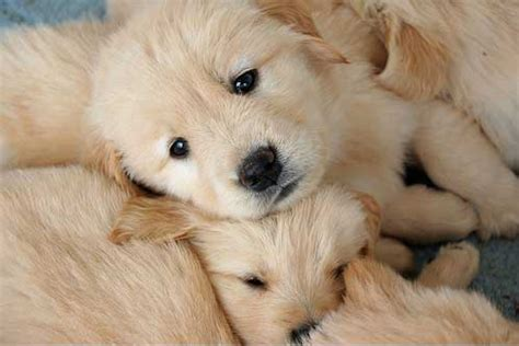 golden retriever common health problems anjing golden retriever jual anak anjing artikel anjing adopsi anjing anjing