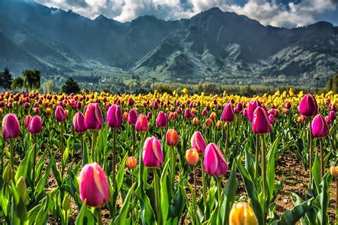 Tulip Flower Garden Tulip Flower Garden In India Asia S Largest Tulip Garden In Kashmir Paradise Kashmir Tulip