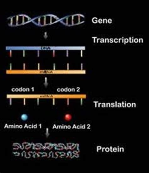 protein synthesis definition science info what is protein synthesis