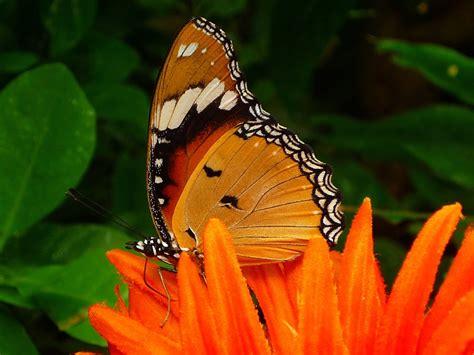 imagenes animales que vuelan foto gratis mariposa insectos que vuelan imagen