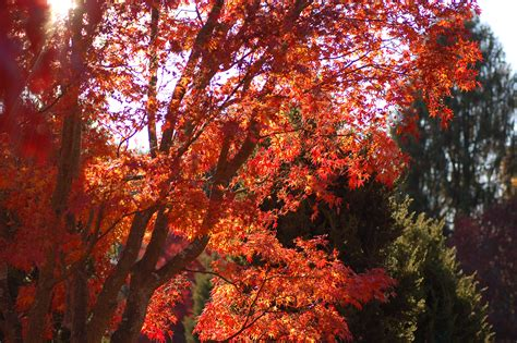 red japanese maple varieties