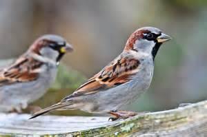 file passer domesticus reifel migratory bird sanctuary 16 jpg