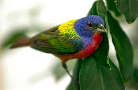 male painted bunting collective vision photoblog for