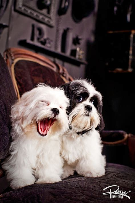 lhasa apso shih tzu difference what is the difference between a shih tzu and a lhasa apso breeds picture