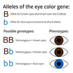 is color blindness dominant or recessive population genetics biology visionlearning