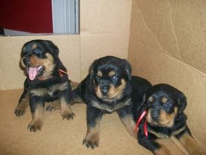 rottweiler for sale vic tx rottweilers home