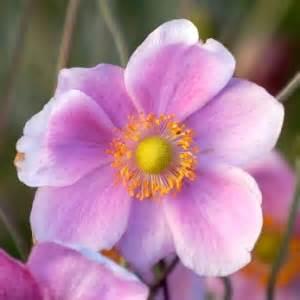 Pink Vase Anemone Voil 224 La F 234 Te