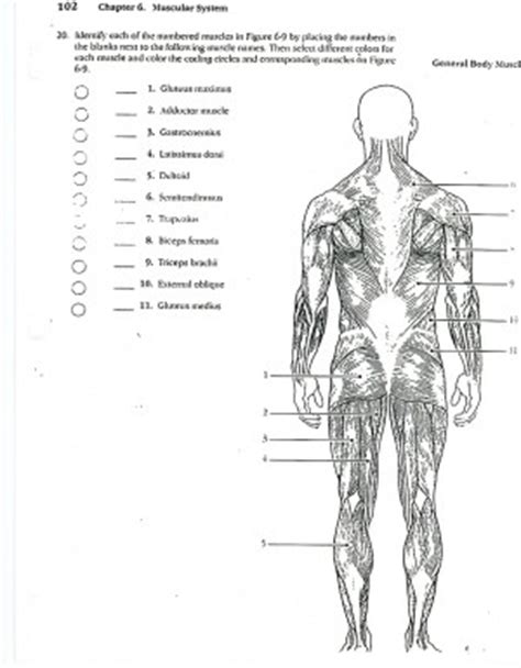 anatomy and physiology coloring book muscles of the trunk quotes about bones and muscles quotesgram