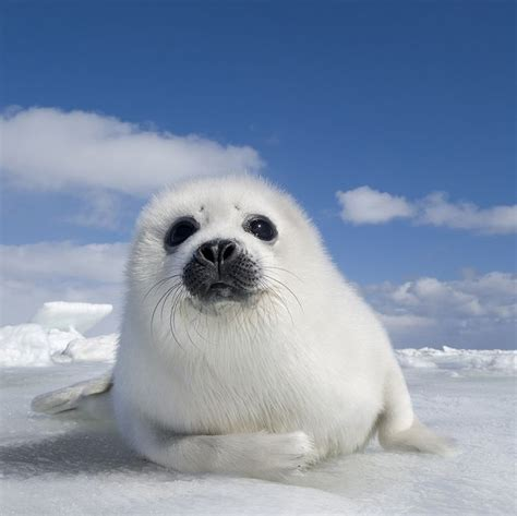 Seal Pop Seal Jus the 25 best harp seal pup ideas on baby harp seal baby seal and seals
