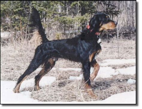 gordon setter hunting dogs for sale grouse dogs gordon setters grouse hunting dogs
