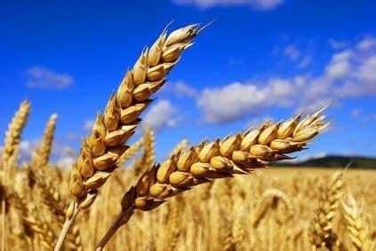 le bl en herbe b00idcfksy posez ce morceau de pain il pourrait vous tuer