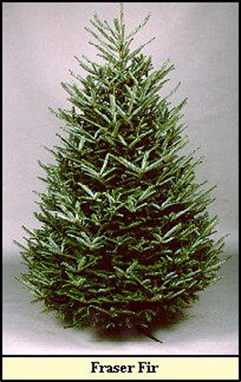 christmas tree varieties photos and information to choose