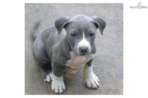 amstaff puppies for sale american staffordshire terrier puppies puppies for sale breeds picture